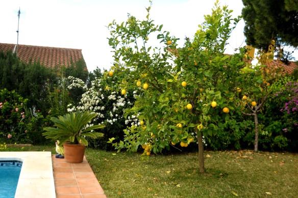Citronträd bar mycket frukt