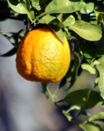 Apelsintider