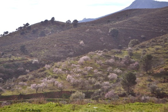 Mandelträden blommar