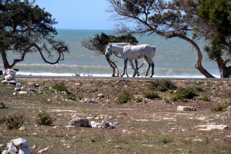 En vit häst kommer gående