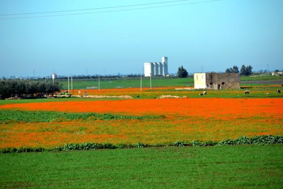 Ser ut som tulpanfälten i Holland