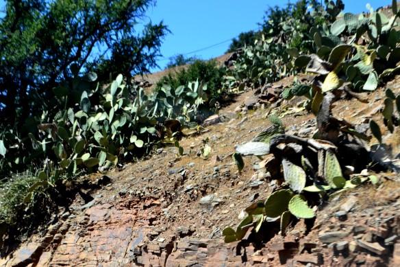 Kaktusar som har vissnat