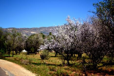 Mandelblomsträden blommar här uppe