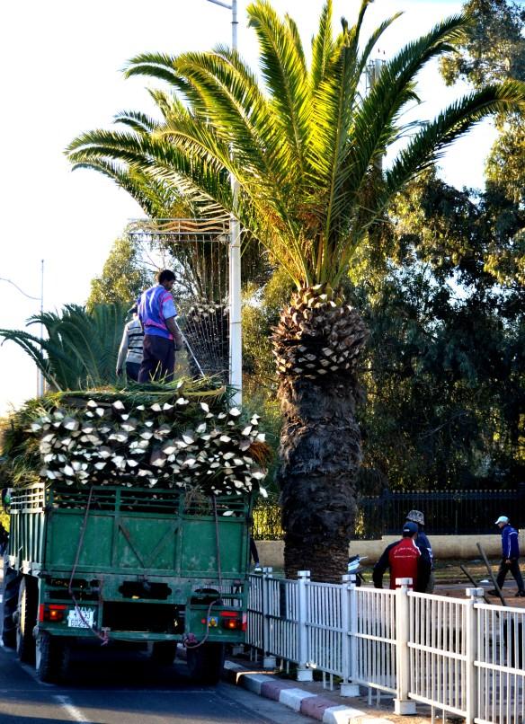 Beskärning av palmer