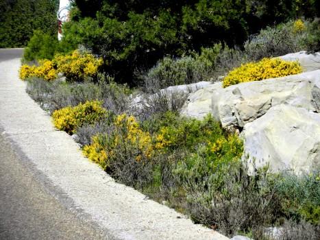 Utefter vägen blommande dessa gula buskar, vet ej vad de heter......