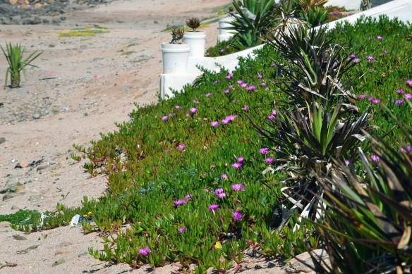 Kaktusen blommar
