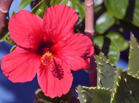 Hibiskusen blommar