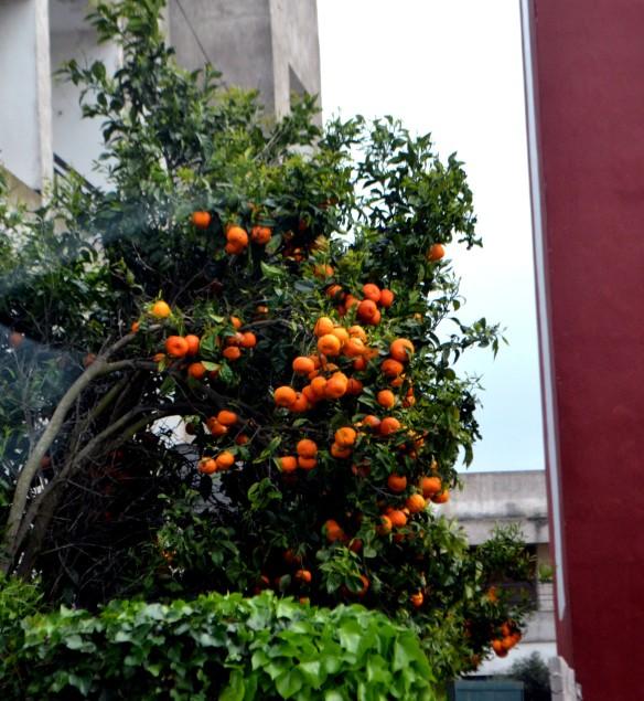 Apelsiner i trädgården