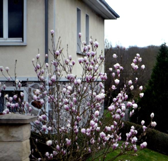 Fina Magnoliaträd