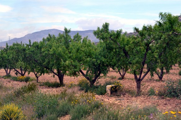 Mandelträden har blivit gröna