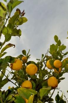 Citroner finns runt hela campingen