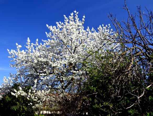 Fruktträden i full blom