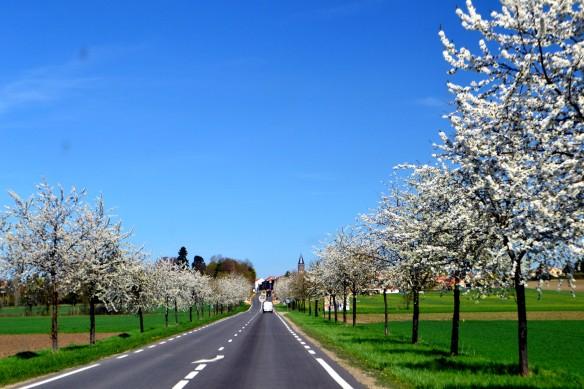 En allé med fruktträd