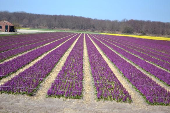Hyacintfält