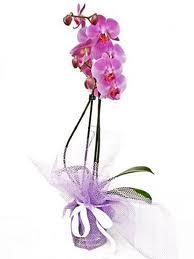 Orkidee7