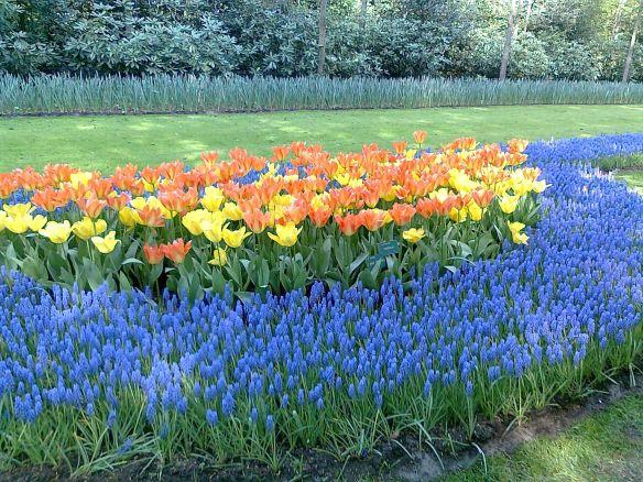 Tulpaner från Amsterdam2