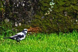 Svartvit fågel