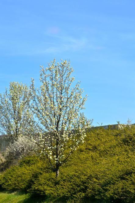 Blommande träd efter vägen