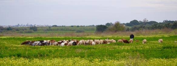 Får vaktde av fåraherde